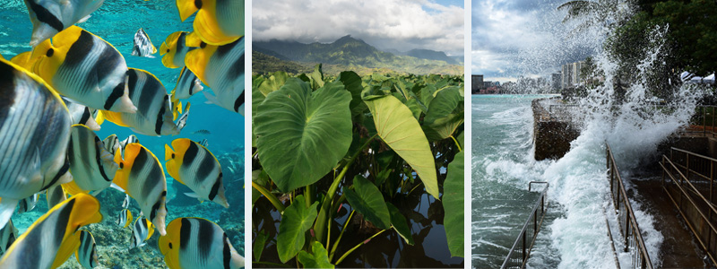Fish Swimming and Kalo Farm