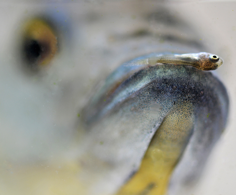A tiny juvenile tilapia perches on the lip of its mother.