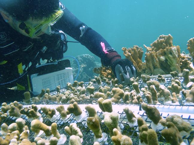 Diver planting coral nubs
