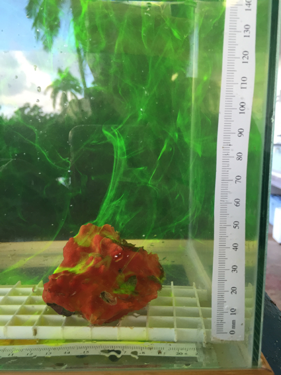 Green plume of dye drifts upward from red sponge in fishtanks