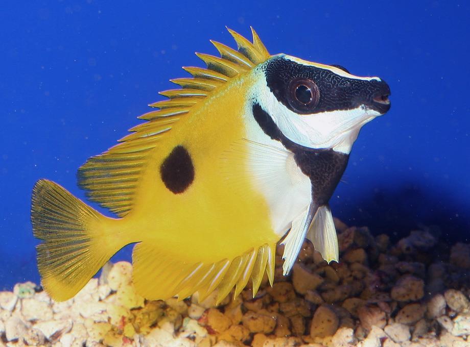 Rabbit fish swimming underwater