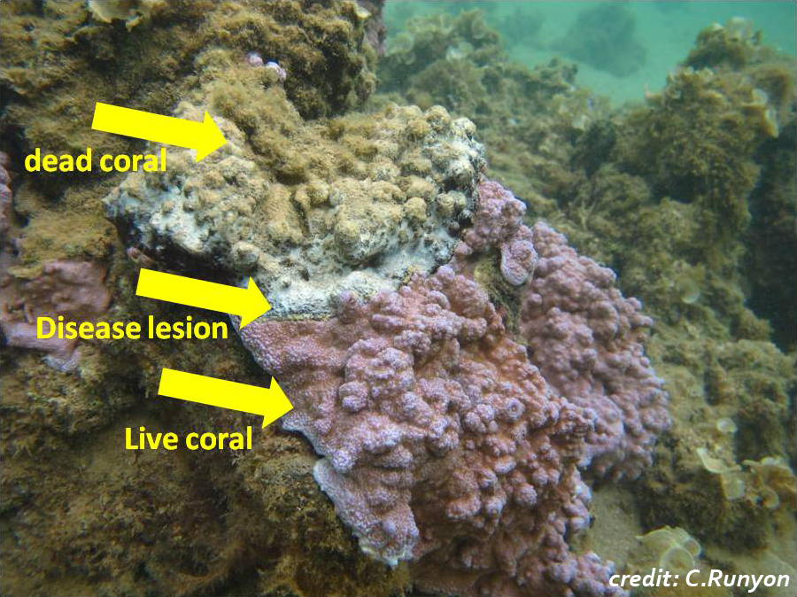 Live nubby coral is pink, with a band at its top that looks mostly whitish, with a connected section above that in dead brown.