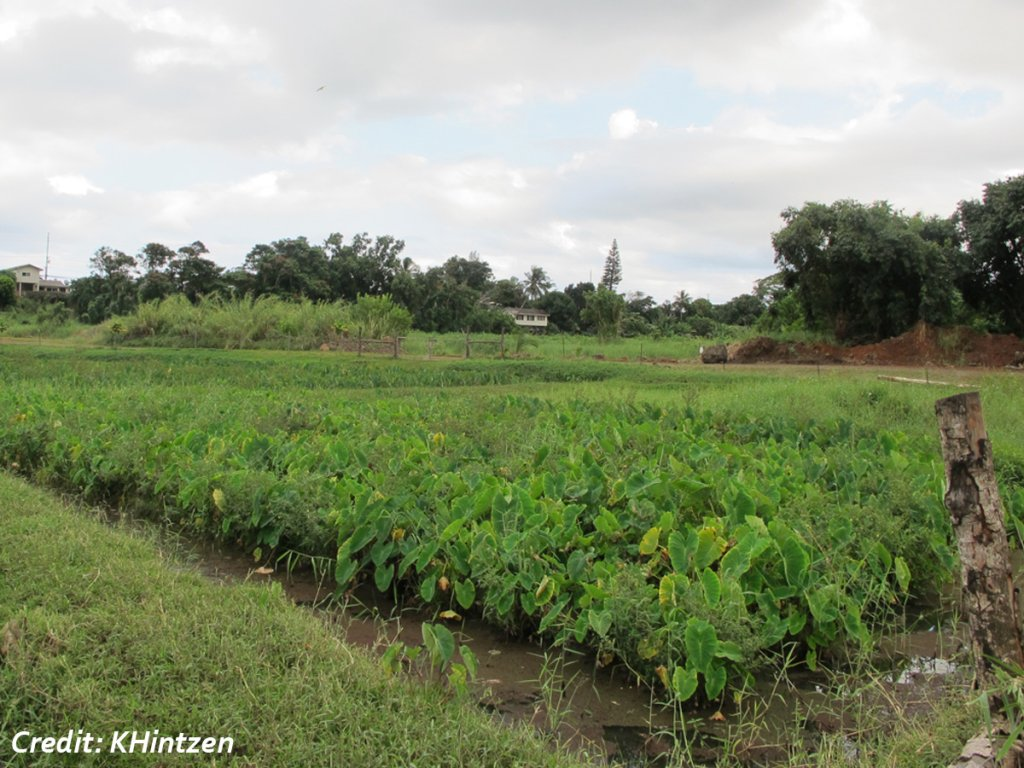 Healthy taro plants in a lo'ii