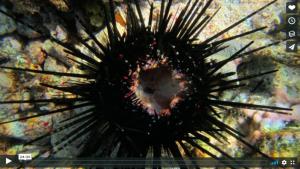voice of the sea season 3 episode 4, Sea Urchin Disaster