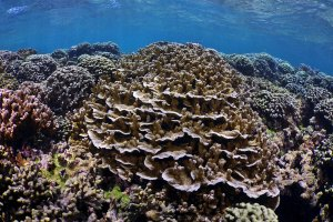 Underwater image of healthy coral reef with M. capitate in center of view