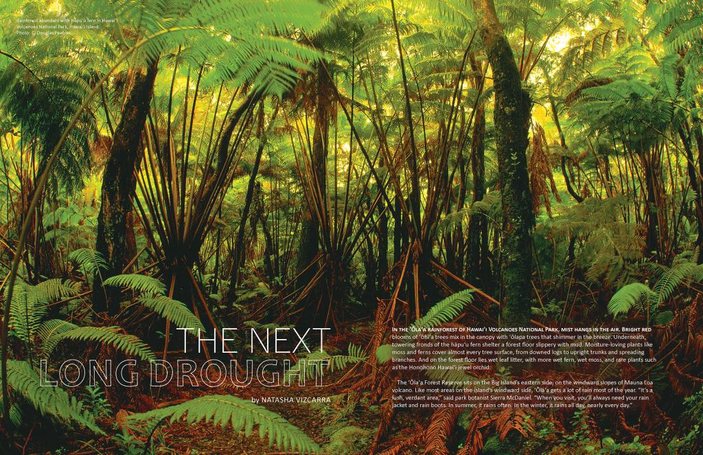 Rainforest abundant with Hāpu'u fern in Hawai'i Volcanoes National Park, Hawai'i Island.