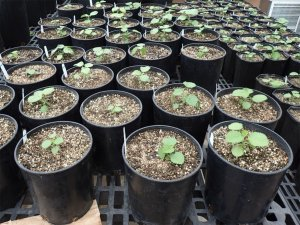 Small plants are growing in numerous pots in a laboratory setting