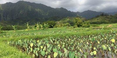 Hanalei Loi, Hawaiian Islands Sentinel Site Cooperative