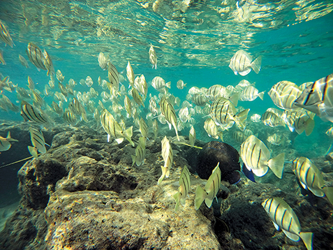 School of Manini swimming above the reef