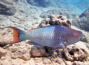 Uhu - Parrotfish