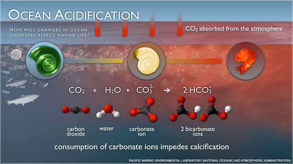 Graphic illustrating chemical reactions that occurs during ocean acidification